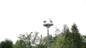 Birds wildlife: two storks. In the nest stock footage