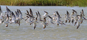 Birds on the Wing. A flock of black skimmers and sandwich terns flies low over water Stock Photography