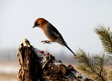 Birds in winter. Winter birds foraging on pine Royalty Free Stock Images