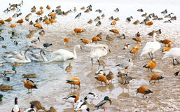 Birds in the winter lake Stock Photos