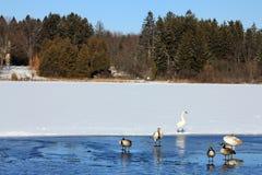 Birds at Winter lake Stock Photo