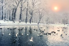 Birds on the winter lake in the park royalty free stock photos