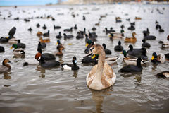 Birds on winter lake . Swans, ducks and seagulls. Young swans and different species of ducks on the beach Stock Photo