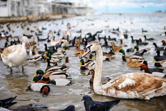 Birds on winter lake . Swans, ducks and seagulls. Young swans and different species of ducks on the beach Stock Image