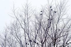 Birds in a Winter Tree. Birds awaiting the snow, sitting in a leafless tree, on a cold winter's day Royalty Free Stock Images