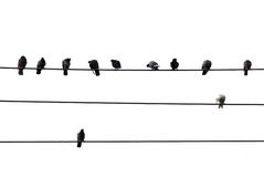 Birds on wire. Birds sitting on wires isolated on white background Royalty Free Stock Image