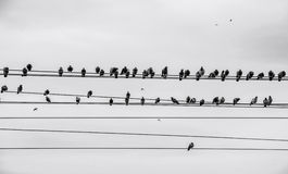 Birds on wire. Birds sitting on power line, flying and sitting Stock Photos