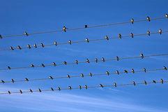 Birds on wire. Swallows perched on telephone wires Stock Photo