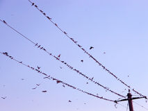Birds on the wire. Swallows (Hirundo rustica) on telegraph wires at sunset Stock Photography
