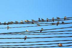 Birds on the wires Royalty Free Stock Photo