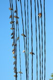 Birds on the wires Stock Image