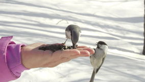 Birds in women`s hand eat seeds stock video footage