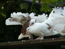 Love and doves. Birds of world there is nothing more beautiful royalty free stock image