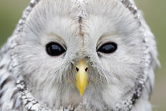 Birds of the World - Ural Owl (Strix uralensis) Royalty Free Stock Image