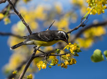 Birds on the yellow blossom Stock Image
