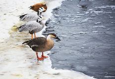 Birds in the zoo in winter. Royalty Free Stock Photo
