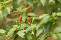Birdseye chili Royalty Free Stock Photography