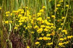 Birdsfoot koniczyna, Lotosowy corniculatus - Leguminosa Obrazy Stock