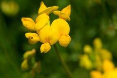 Birdsfoot Trefoil. Close up of a Birdsfoot Trefoil flower Stock Images
