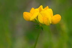 Birdsfoot Trefoil Stock Photography
