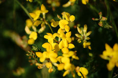 Birdsfoot trefoil. The close-up of yellow butterfly blossoms from the Birdsfoot trefoil royalty free stock photos
