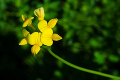 Birdsfoot Trefoil Stock Images