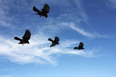 BirdsInFlight Stock Photography