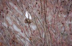 Birdsnest в кизиле Буше Snowcone в красной щетке стоковые изображения rf