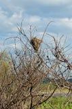 Birdsnest built in tall brush. Lone birds nest built in tall branches stock image