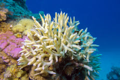 Birdsnest Coral at the bottom of tropical sea, underwater Royalty Free Stock Images