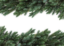 Birdsnest spruce. Branches of pine form a nice border, isolated on white background stock photography
