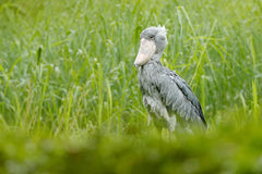 Birdwatching in Africa. Shoebill, Balaeniceps rex, portrait of big beak bird, Congo. Detail wildlife scene from Central Africa. Ra Stock Image