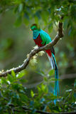 Birdwatching in America. Exotic bird with long tail. Resplendent Quetzal, Pharomachrus mocinno, magnificent sacred green bird from. Costa Rica Royalty Free Stock Photography