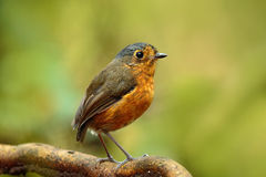 Birdwatching in Colombia, South America. Bicolored antpitta, Grallaria rufocinerea, bird from Colombia. Rare bird in the nature ha Royalty Free Stock Photography