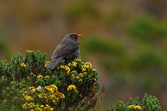 Birdwatching in Colombia, South America. Bird from Colombia. Rare bird in the nature habitat. Black bird with red bill, Los Nevado Stock Image