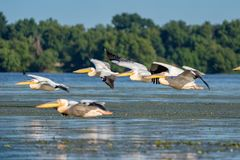 Birdwatching in the Danube Delta. Pelicans flying over Fortuna L royalty free stock photos