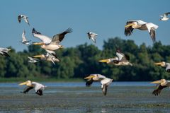 Birdwatching in the Danube Delta. Pelicans flying over Fortuna L stock images