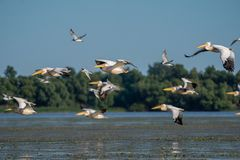 Birdwatching in the Danube Delta. Pelicans flying over Fortuna L stock photography