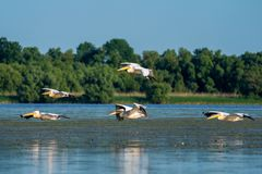 Birdwatching in the Danube Delta. Pelicans flying over Fortuna L royalty free stock image