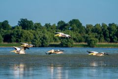 Birdwatching in the Danube Delta. Pelicans flying over Fortuna L stock photo
