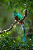 Birdwatching em América Pássaro exótico com cauda longa Quetzal resplandecente, mocinno de Pharomachrus, pássaro verde sagrado ma fotografia de stock royalty free