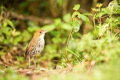 Birdwatching em Col?mbia, ?m?rica do Sul Antpitta bicolor, rufocinerea de Grallaria, pássaro raro no habitat da natureza Antpitta fotos de stock
