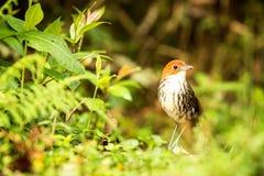 Birdwatching em Col?mbia, ?m?rica do Sul Antpitta bicolor, rufocinerea de Grallaria, p?ssaro raro no habitat da natureza Antpitta foto de stock