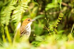 Birdwatching em Col?mbia, ?m?rica do Sul Antpitta bicolor, rufocinerea de Grallaria, p?ssaro raro no habitat da natureza Antpitta imagens de stock