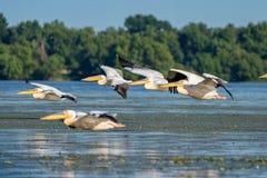 Birdwatching i Donaudeltan Pelikan som flyger över Fortuna L royaltyfria foton