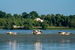 Birdwatching i Donaudeltan Pelikan som flyger över Fortuna L royaltyfri bild
