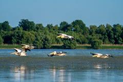 Birdwatching i Donaudeltan Pelikan som flyger över Fortuna L arkivfoto