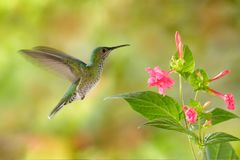 Birdwatching in South America. Flying hummingbird White-necked Jacobin female next pink red flower, Florisuga mellivora, from Ra. Birdwatching in South America royalty free stock photography