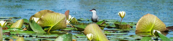 Stern at nest on lotus flower on Danube delta. During a birdwatching tour on Danube delta at Spring, Sterns families family observed in a protected area royalty free stock image