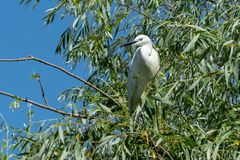 White Aigret on blue Danube delta. During a birdwatching tour on Danube delta at Spring, White Aigret observed in a protected area stock photos